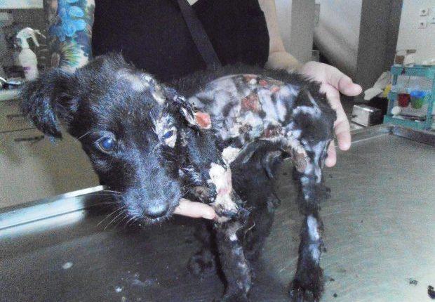 Θηριωδία στα Τρίκαλα: Άγνωστοι ανεγκέφαλοι έκαψαν κουτάβι με οξύ