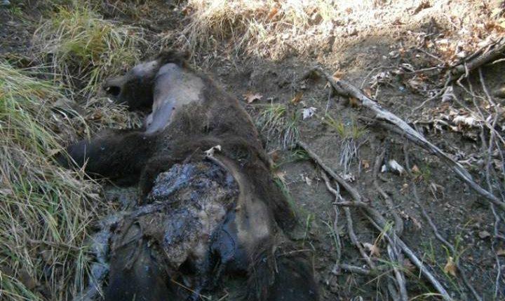Νεκρή αρκούδα βρέθηκε κοντά σε χωριό του Νομού Τρικάλων