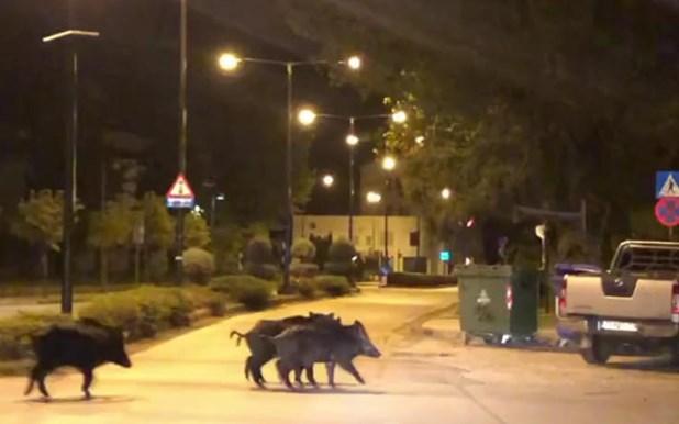 Αγριογούρουνα βγήκαν βόλτα στο κέντρο των Τρικάλων!